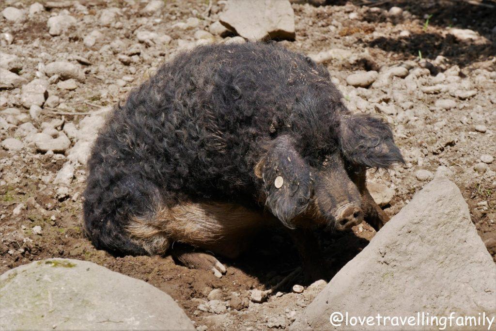 Wildpark Oberreith - Wollschweine