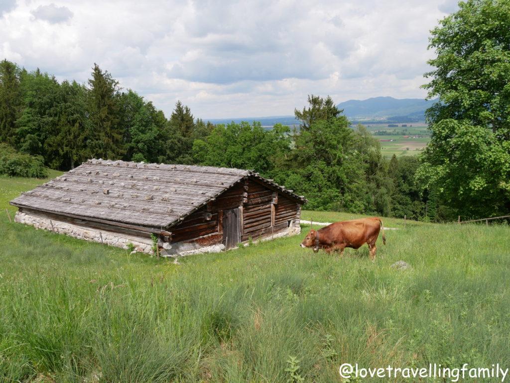 Kühe Freilichtmuseum Glentleiten Bayern mit Kind